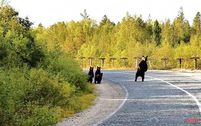 Хабаровским медведям подфартило с ужином: тонна рыбы высыпалась на дорогу из перевернувшегося грузовика