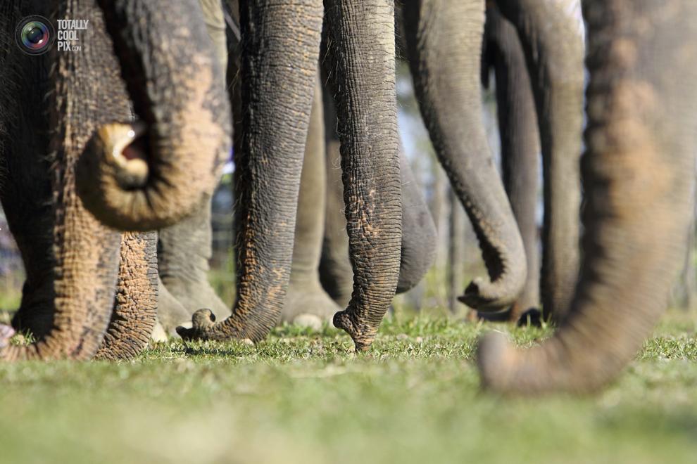 elephants 008 Слоны в национальном парке Читван