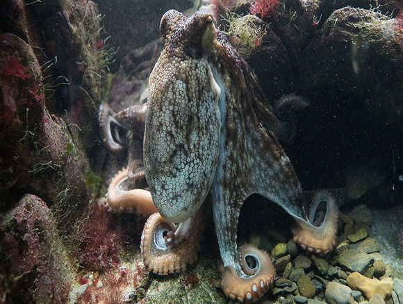 Ученые США : Осьминоги — инопланетяне