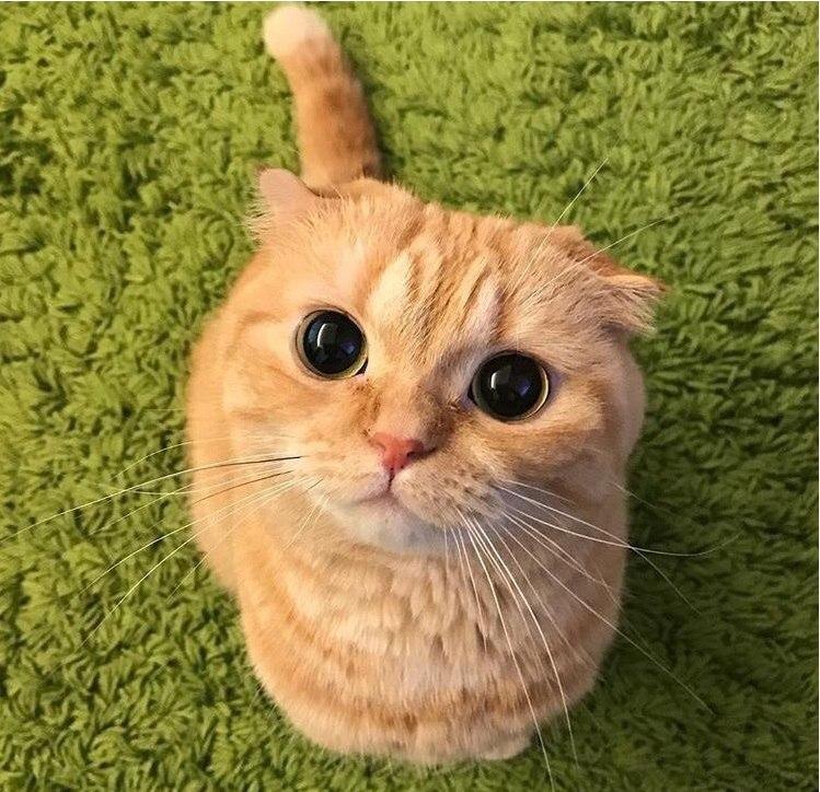 Взгляд кота из Шрека в реальной жизни