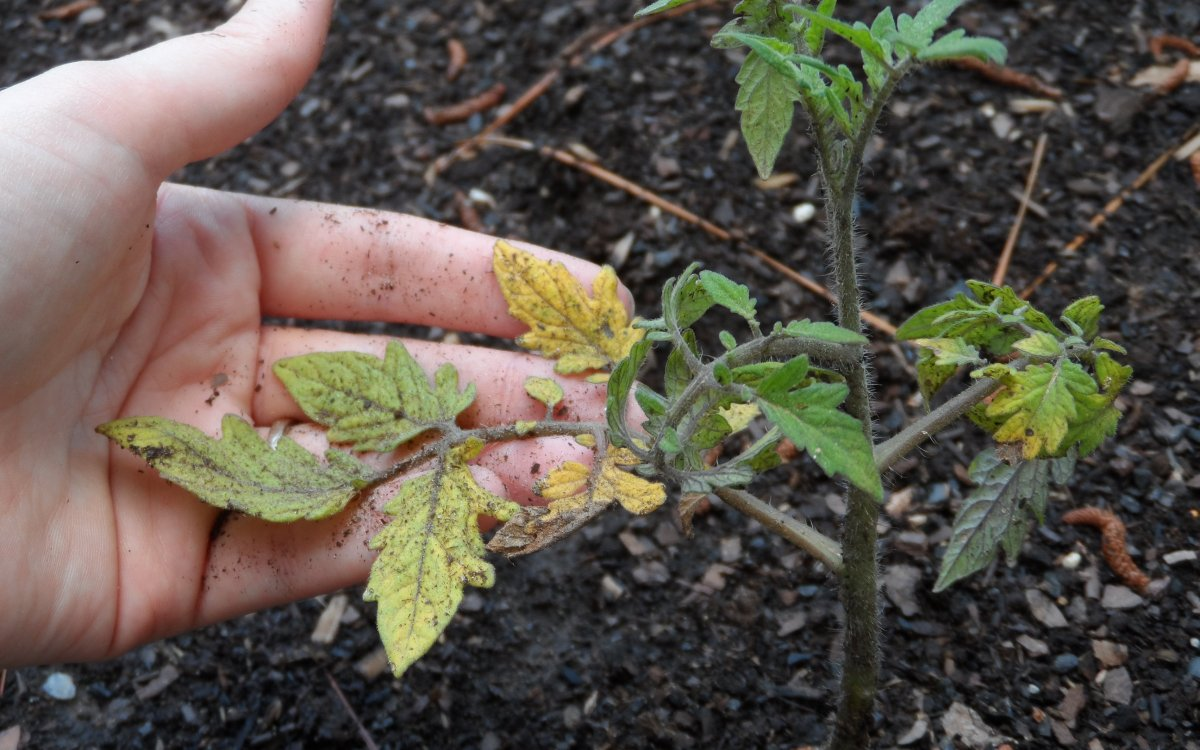 Почему желтеют листья у помидор в теплице и открытом грунте?