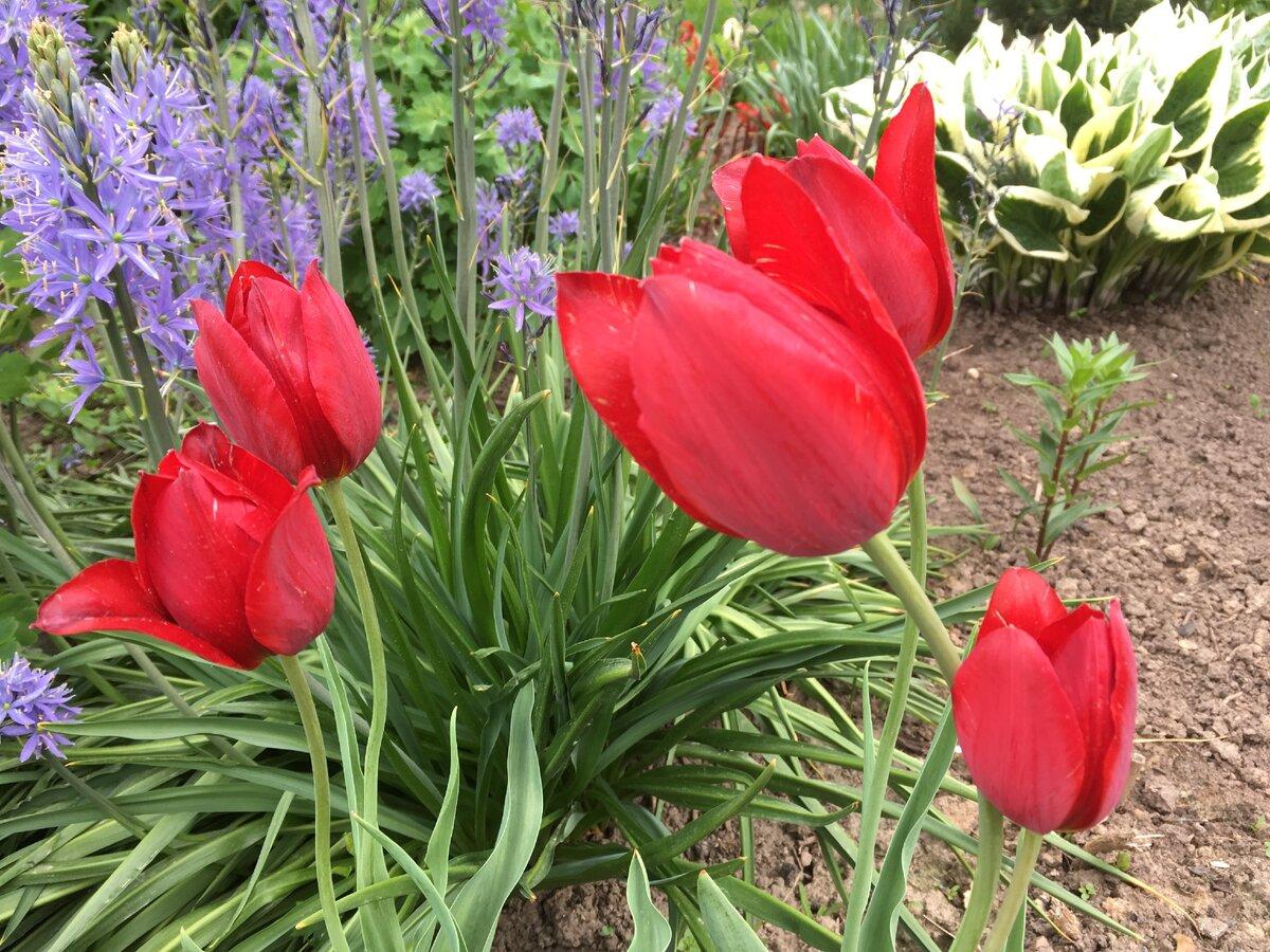 Ненужные цветы: как среди них оказалась Камассия?