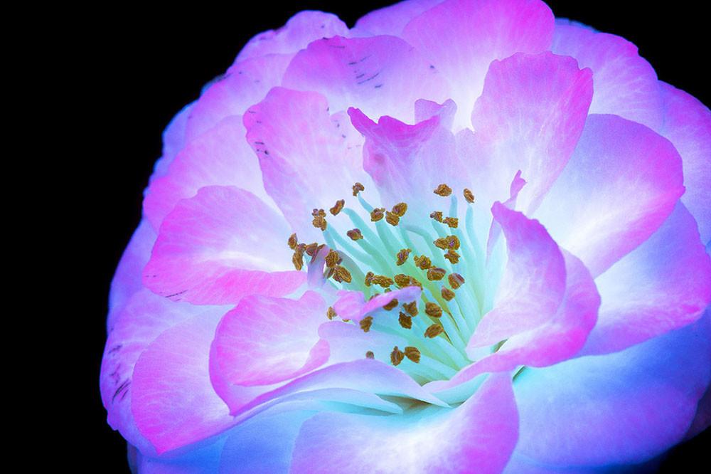 Ослепительные фотографии цветов, освещённых ультрафиолетом