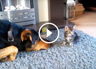 Большой пес упрашивает котенка поиграть с ним