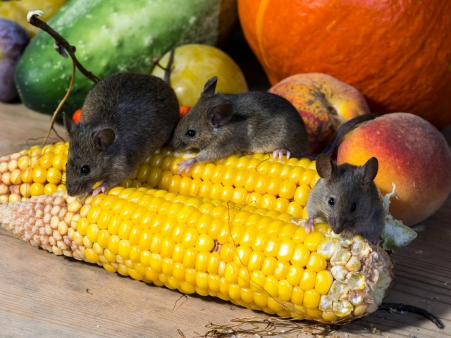 Мыши - грызуны вредители