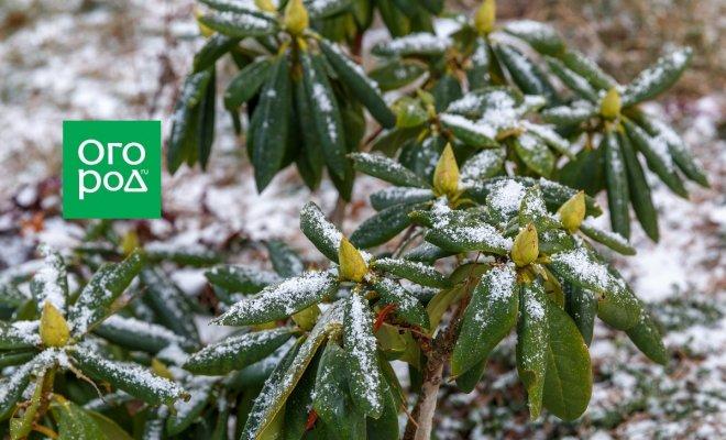 Когда укрывать рододендроны на зиму, и зачем это делать