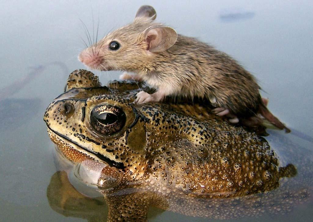 AnimalOddCouples 22 Самые странные парочки животных