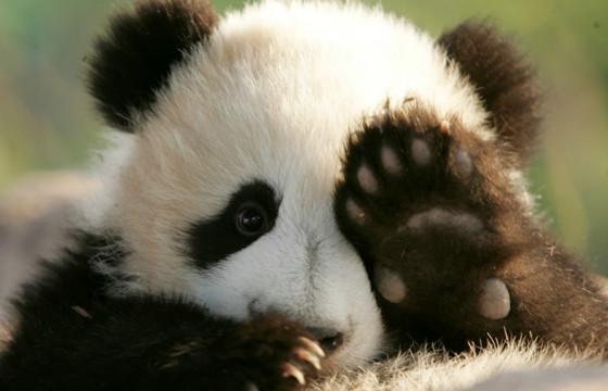 Сюнмао - китайское название панды - означает медведь-кошка
