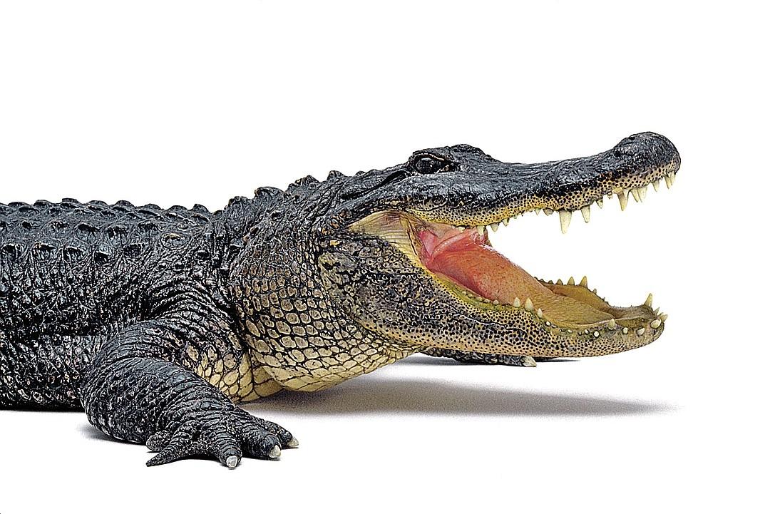 Час аренды крокодила стоит 15 тысяч рублей. Фото: GLOBAL LOOK PRESS