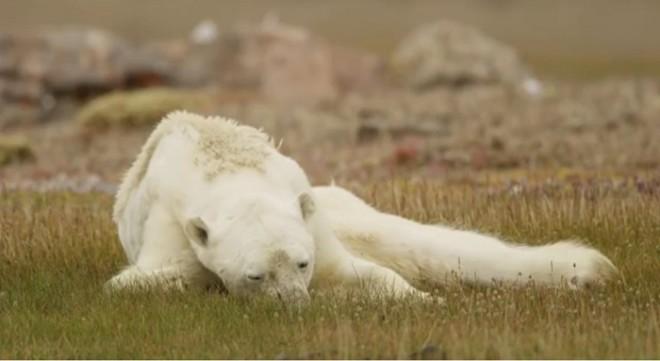 Умирающий от голода белый медведь попал на видео и оно просто разобьет вам сердце