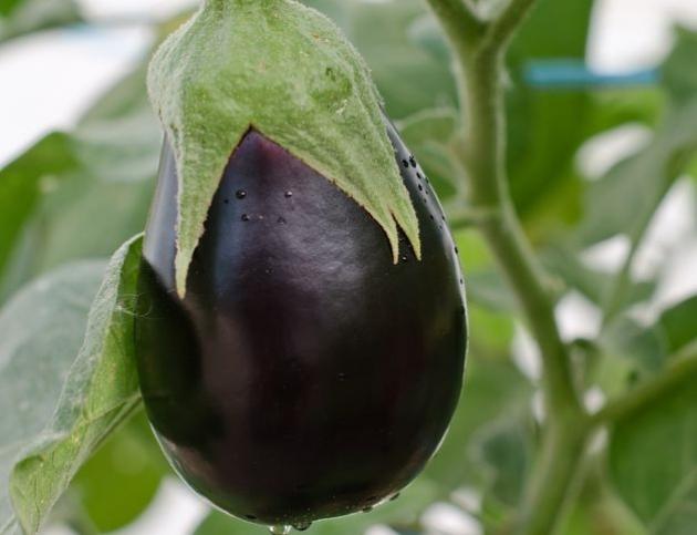 6 правил успешного выращивания рассады баклажана