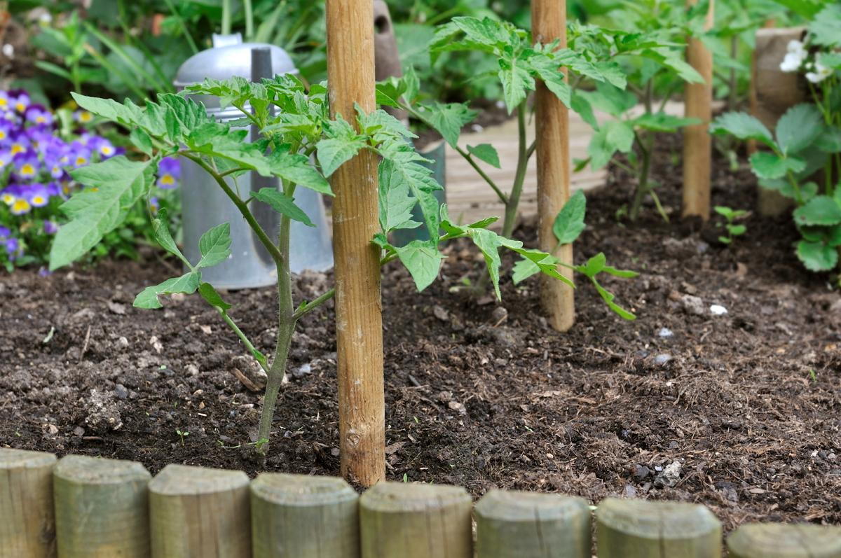 tomato seedlings and wooden sticks in garden