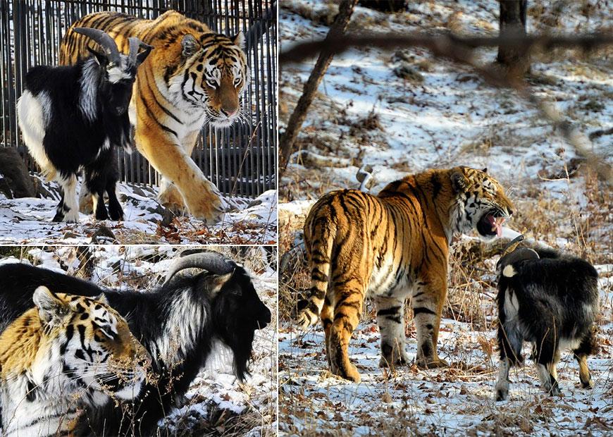 тигр амур и козел видео вести