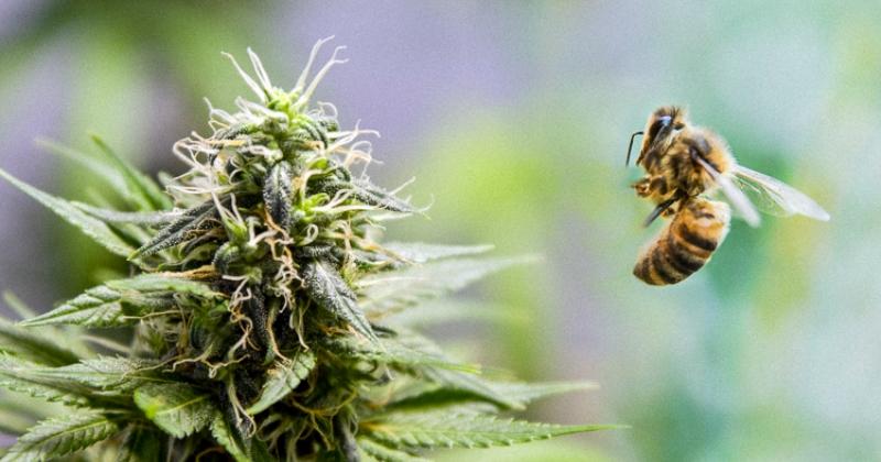Ученые выяснили: вымирание пчел в США остановит… каннабис
