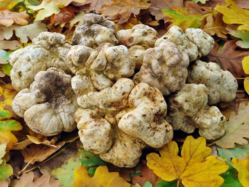Белые грибы италия