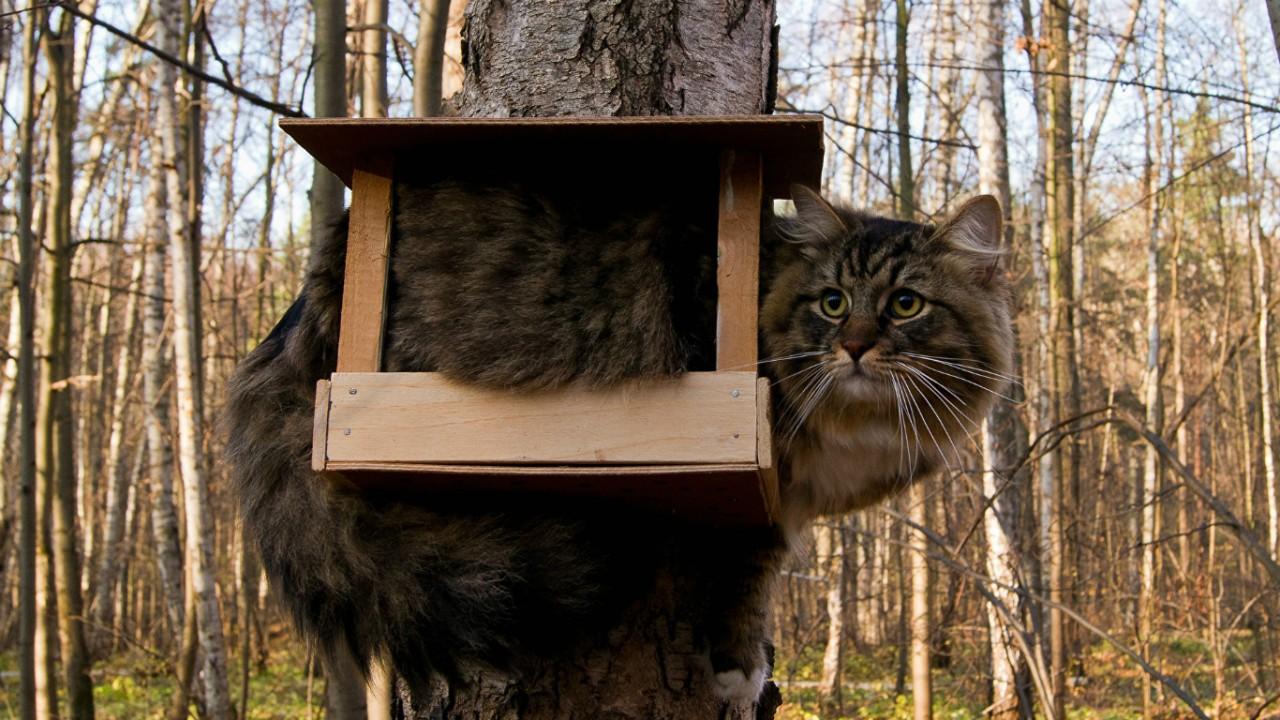 Ворующий сало кот-экстремал...