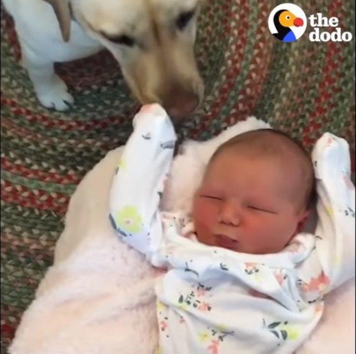 Собаки встречают дома новорожденных малышей