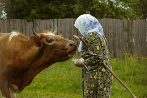 Я люблю тебя корова, от копыт и до хвоста, будь удойна и здорова, и в общении проста.