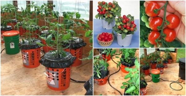 Как вырастить помидоры в ведре корнями вверх?! Сейчас вы сможете выращивать любимые томаты даже если у вас совсем маленький участок!