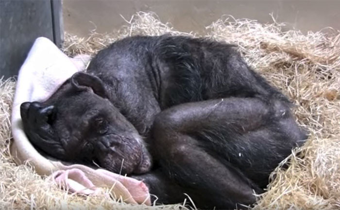 59-летняя умирающая шимпанзе отказывалась от еды, но потом она услышала голос своего старого друга