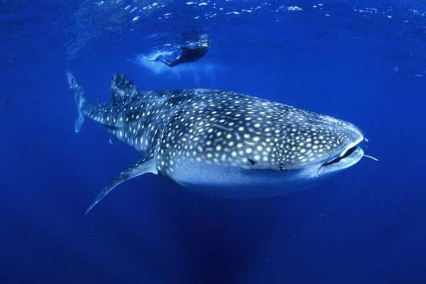 Китовые акулы иногда становятся вегетарианцами