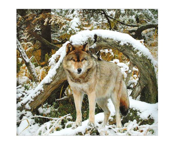Мир природы Хабаровского края (Фауна) Волк