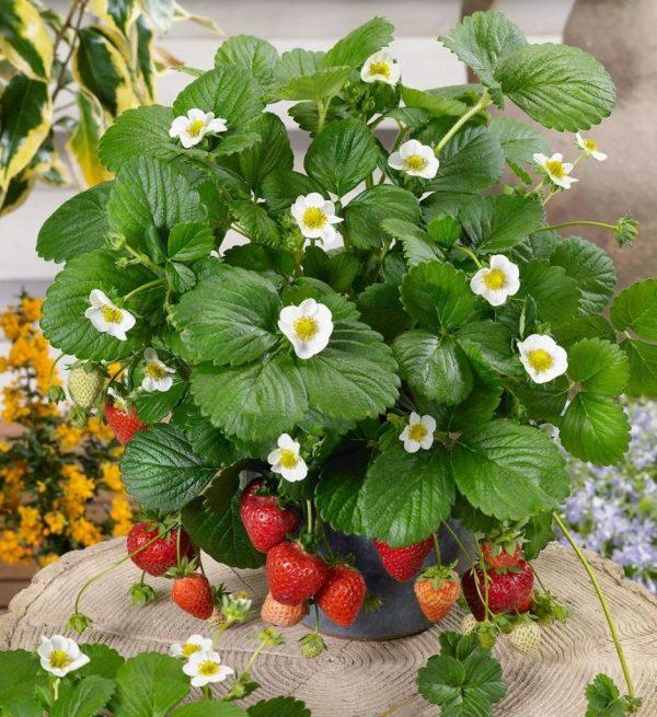 Какие ягоды можно вырастить в горшках