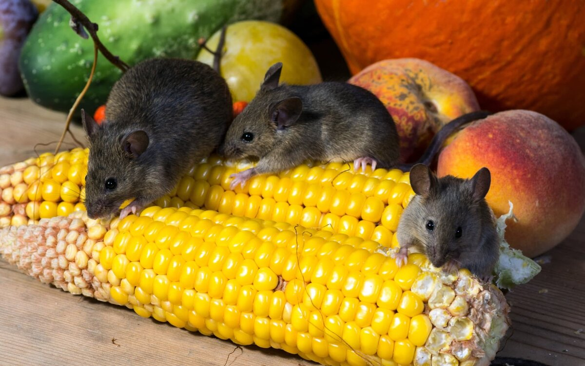 Как защитить дачу от зимнего нашествия мышей старыми способами, которые работают