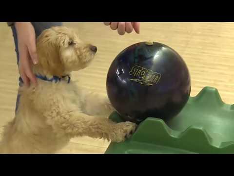 Этот пес шокировал весь боулинг, когда выбил страйк. Видео.