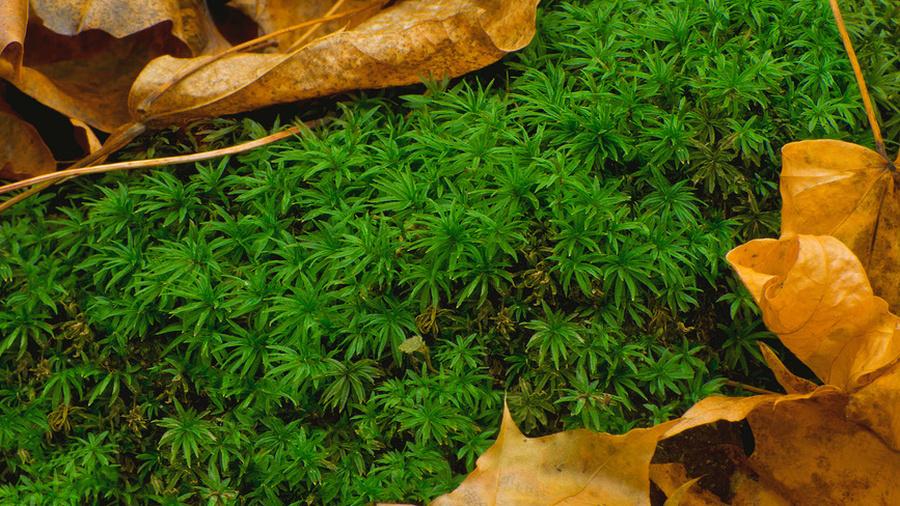Целебный мох