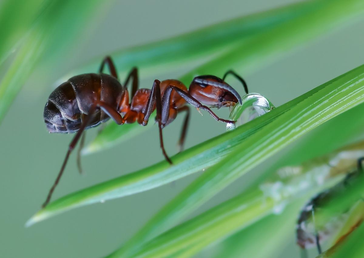 100 процентное средство от муравьев: личный опыт