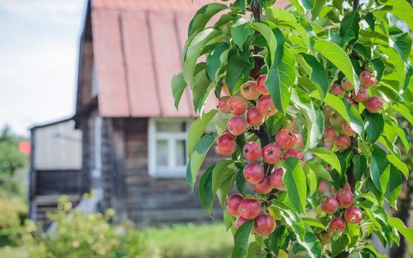 Как посадить колонновидную яблоню в саду. Правильный уход