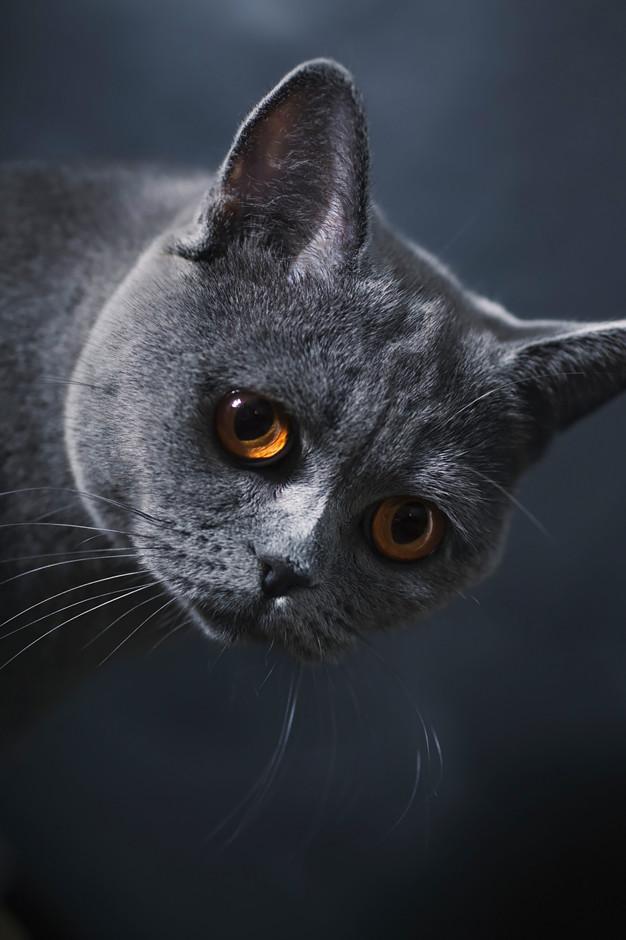 Самые популярные породы кошек: британская