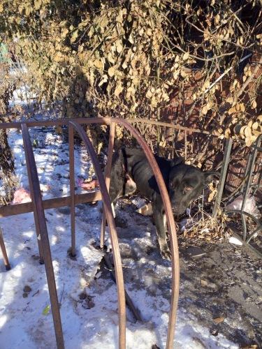 Уличный пёс оказался обмотанным колючей проволокой, но он не просил о помощи… Бедняга больше месяца бегал от людей