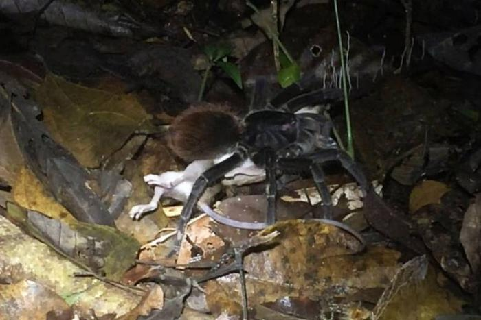 Огромные амазонские пауки едят лягушек, змей и даже опоссумов -7 фото + видео-