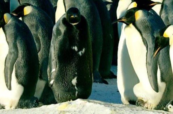 Полностью черный пингвин впервые попал на видео