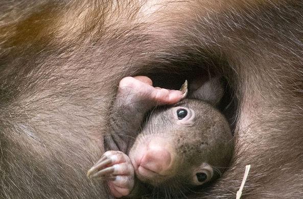 Детеныш вомбата родился в немецком зоопарке впервые за 40 лет