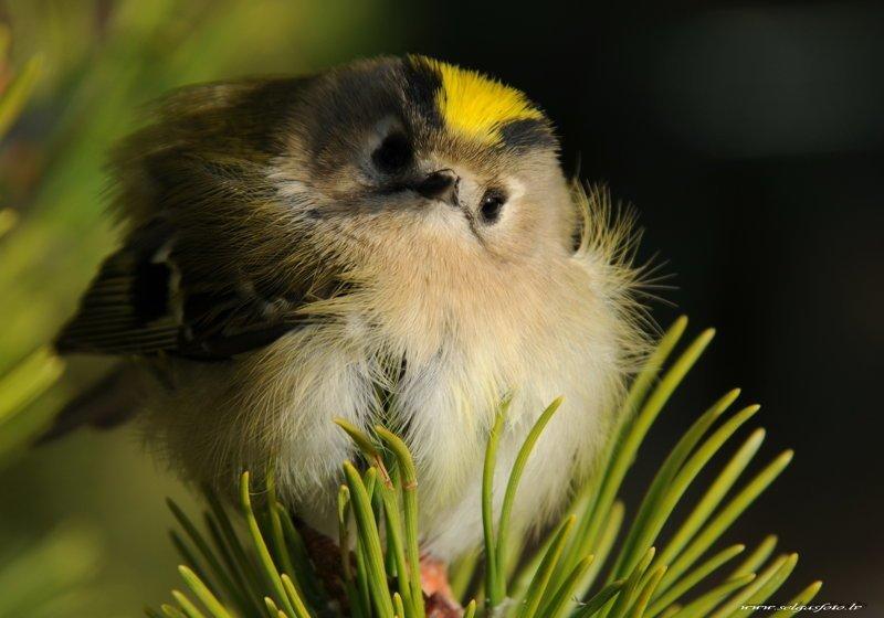 Самая маленькая птица Евразии - желтоголовый королек