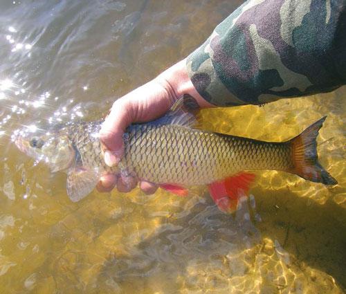 какая рыба клюет на консервированную кукурузу при