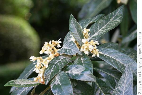 Мушмула японская в цветении крупным планом