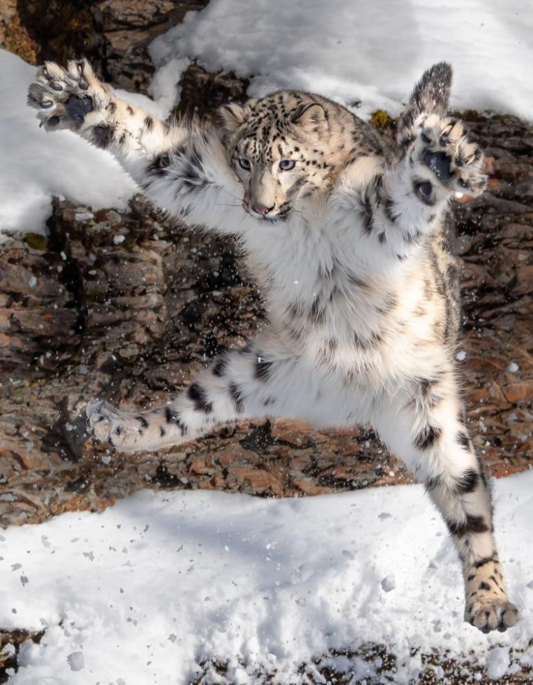 Обнимашки! Фото снежного барса в прыжке стало вирусным!