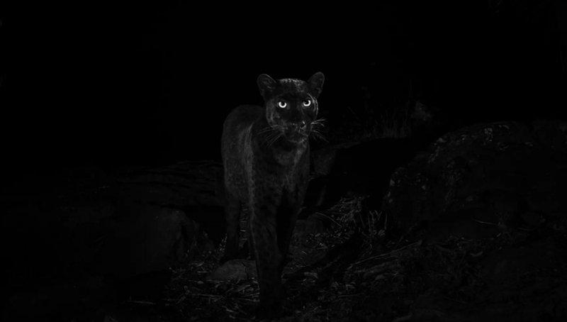 Черного африканского леопарда сфотографировали впервые за 110 лет