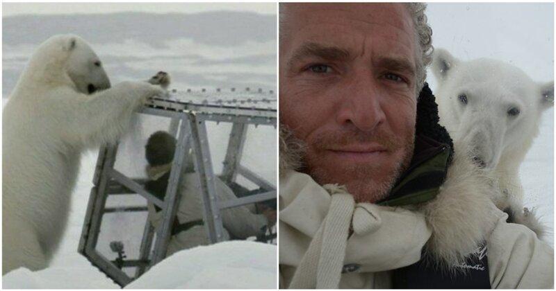 """Голодная белая медведица пытается добраться до запертого в прозрачной """"коробке"""" кинематографиста"""