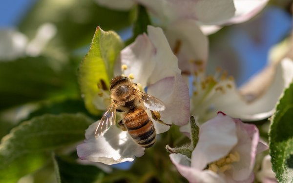 Медоносные пчелы зря старались.