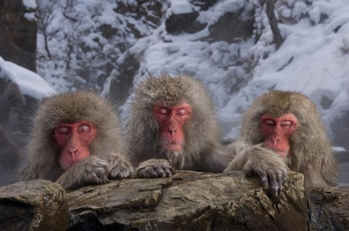 Три японские макаки, известные также как снежные обезьяны, наслаждаются купанием в натуральном горячем источнике в Японии. Автор: Marsel van Oosten.