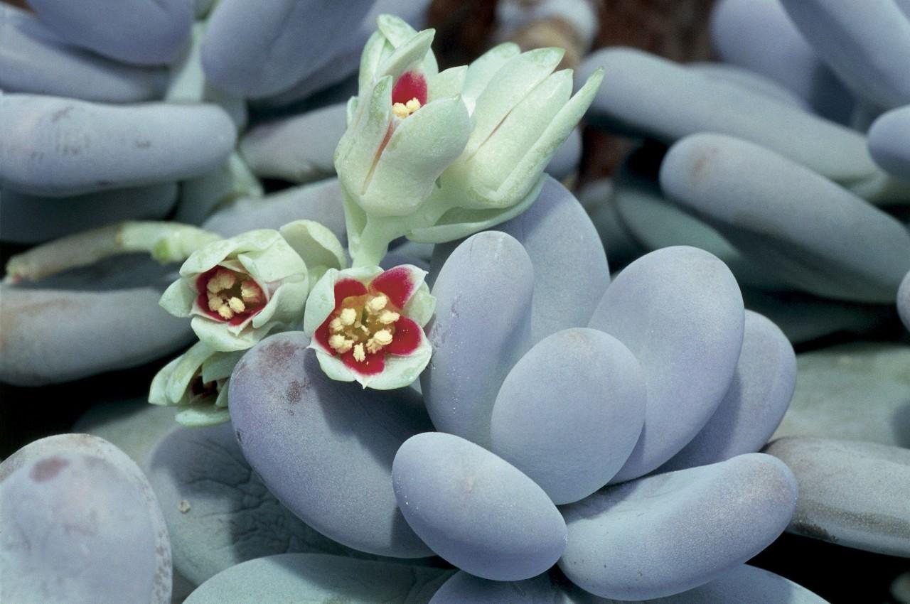 Картинки по запросу succulent varieties