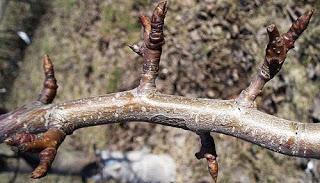 Как увеличить количество плодовых почек на яблоне и груше.