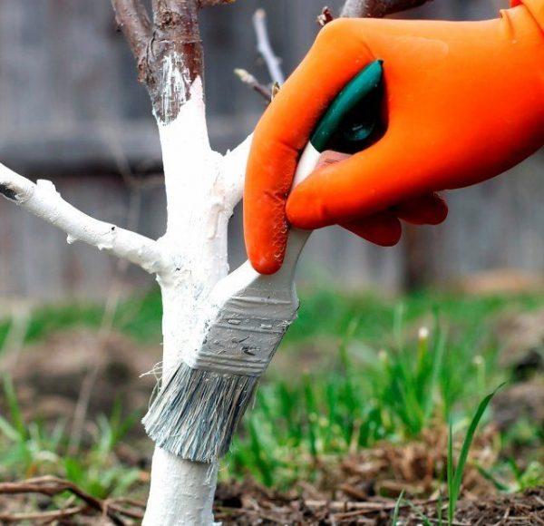Стоит ли белить деревья в мае