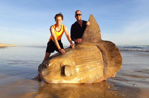 В Австралии найдена редкая двухметровая луна-рыба