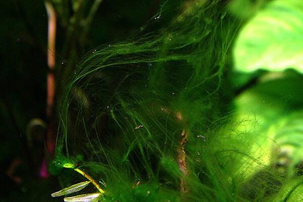 Нитчатые водоросли как насадка для ловли рыбы